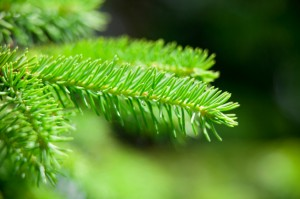 Growing Grass Under Your Spruce Tree