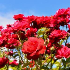 Growing Roses in Calgary