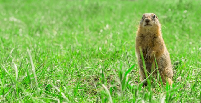 Getting Rid of Gophers and Voles