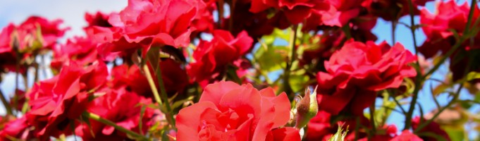 Growing Roses in Calgary: Landscaping Tips for the Beginner