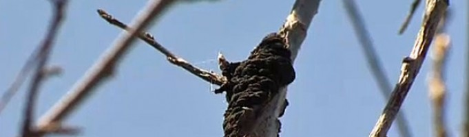 Signs of Black Knot Disease and What to Do: Calgary Landscaping by Mirage