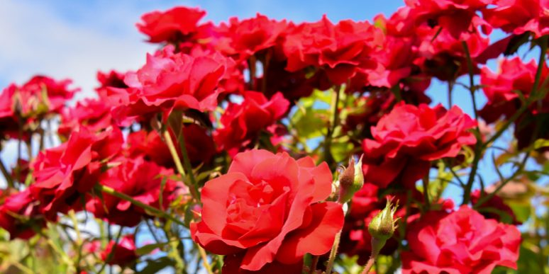 Growing Roses In Calgary Landscaping Tips For The Beginner